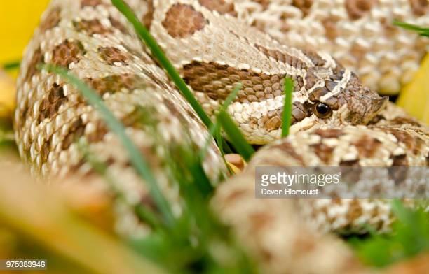 hognose snake - hognose snake stock pictures, royalty-free photos & images