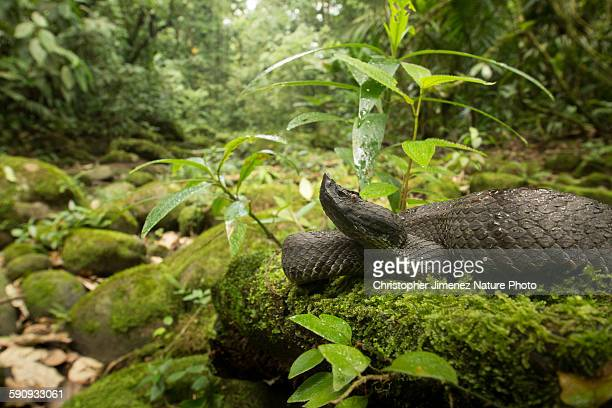 hognosed pitviper on a fallen tree - christopher jimenez nature photo stock pictures, royalty-free photos & images