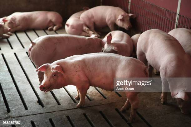 Hogs are raised on Duncan Farms on June 6 2018 near Polo Illinois In retaliation for the Trump administration's tariffs on steel and aluminum Mexico...