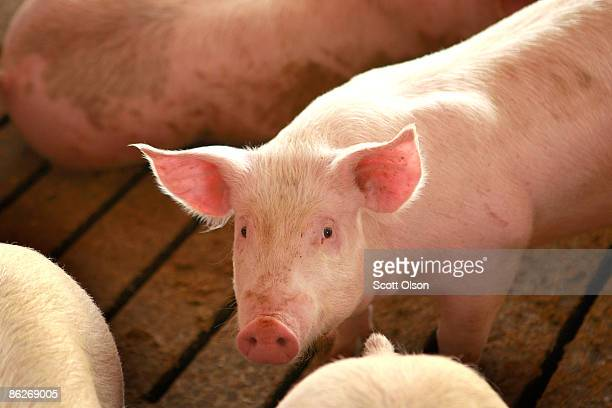 Hogs are raised on the farm of Gordon and Jeanine Lockie April 28 2009 in Elma Iowa Hog farmers who have been battered by rising feed prices are now...