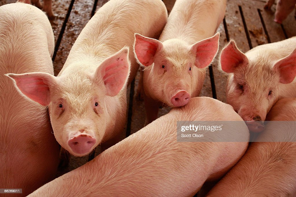 Misconceptions Surrounding Eating Pork And The Swine Flu Lower Hog Prices : News Photo