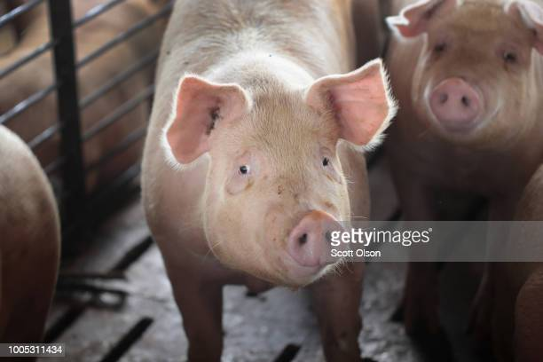 Hogs are raised on the farm of Ted Fox on July 25 2018 near Osage Iowa According to the Iowa Pork Producers Association Iowa is the number one pork...