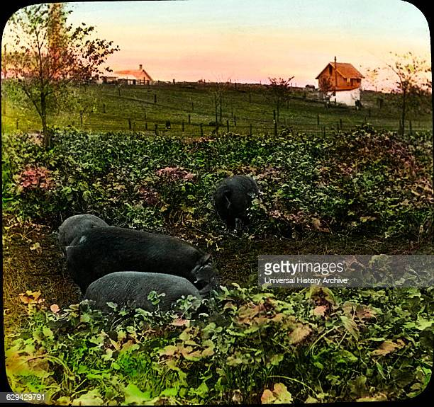 Hogs in Rape Pasture Agricultural Experiment Station Ames Iowa USA Magic Lantern Slide circa 1910