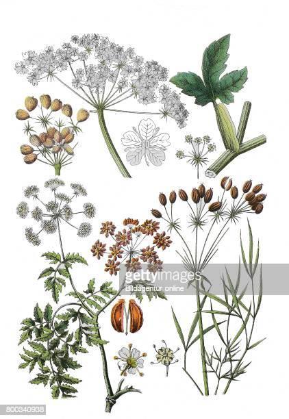 Hogweed common hogweed Heracleum sphondylium hog's fennel Peucedanum officinale hemlock or poison hemlock Conium maculatum