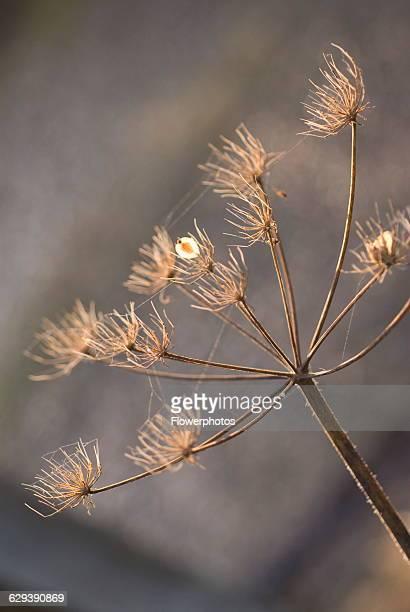 Hogweed Heracleum sphondylium