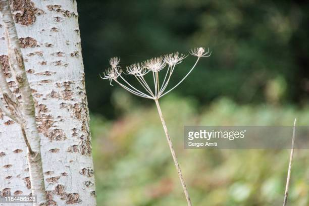 hogweed - giant hogweed stock pictures, royalty-free photos & images