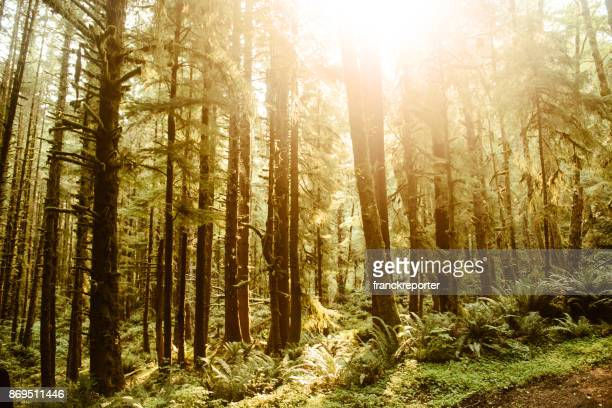 hoh rainforest in the washington state - hemlock tree stock pictures, royalty-free photos & images