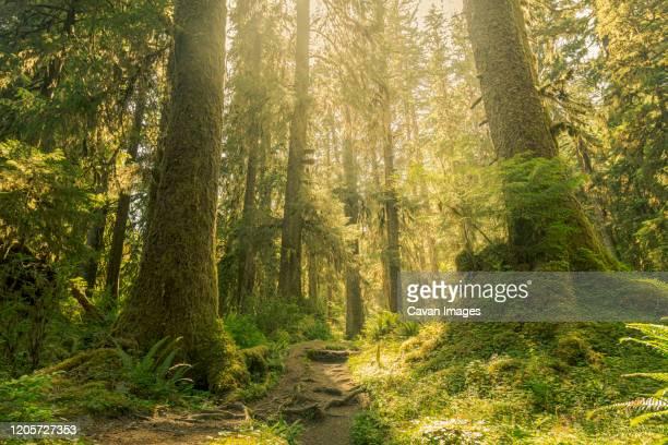 hoh rainforest, olympic national park, washinton - 生い茂る ストックフォトと画像