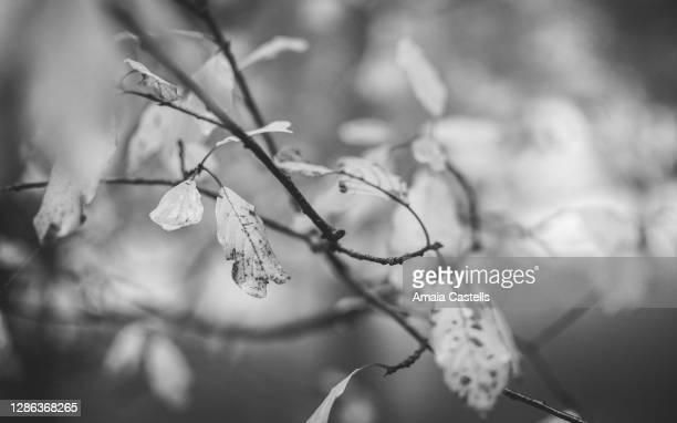 hojas en blanco y negro - blanco y negro ストックフォトと画像