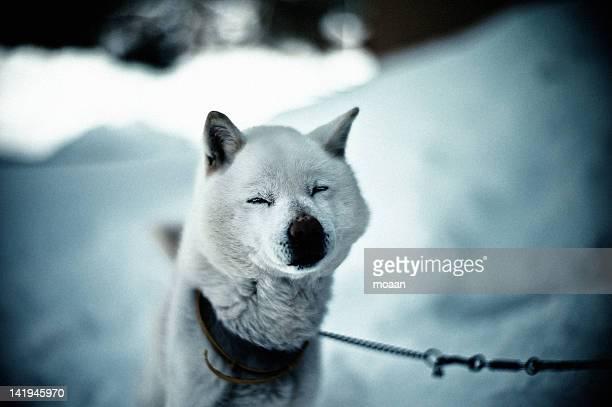 hokkaido dog - mutsu imagens e fotografias de stock