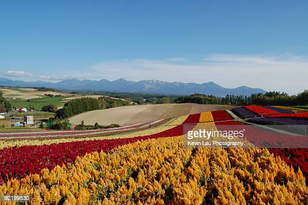 hokkaido flower field - biei town stock pictures, royalty-free photos & images