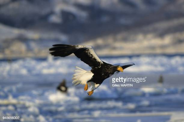 Hokkaido Island Japan this superb raptor known in Japanese as owashi leaves Siberia at the end of summer to winter at the northeast of the island of...