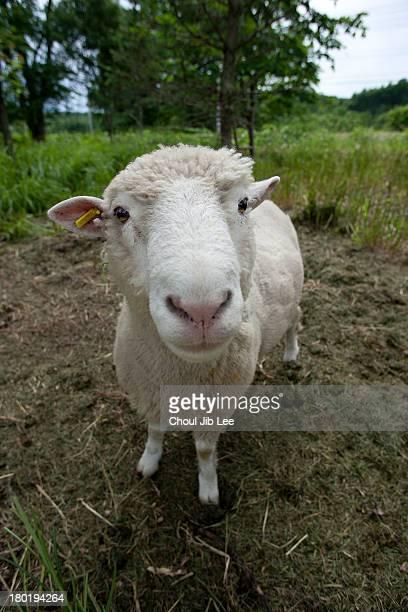 Hokkaido sheep