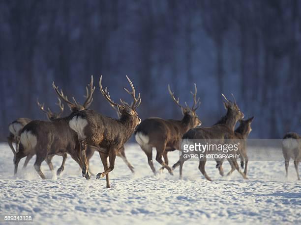 hokkaido sika deer in snow, hokkaido prefecture, japan - 哺乳類 ストックフォトと画像