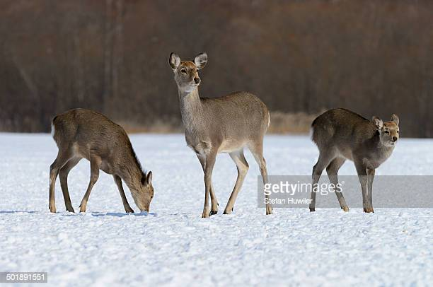 hokkaido sika deer, spotted deer or japanese deer -cervus nippon yesoensis-, hinds, foraging for food in snow, shitsugen nationalpark, kushiro, hokkaido, japan - nationalpark stock pictures, royalty-free photos & images