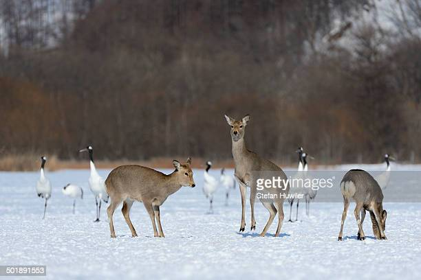 hokkaido sika deer, spotted deer or japanese deer -cervus nippon yesoensis-, hinds, red-crowned cranes, japanese cranes or manchurian cranes -grus japonensis-, at back, shitsugen nationalpark, kushiro, hokkaido, japan - nationalpark stock pictures, royalty-free photos & images