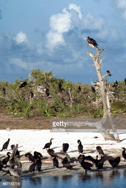 Holbox island is a bird sanctuary where frigate bird cormoran and pelicans can nest safely Yucatan peninsula Mexico