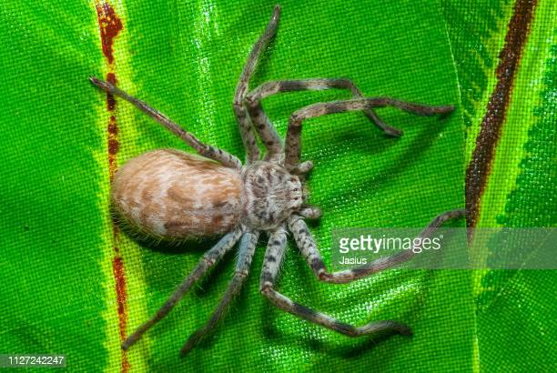 holconia immanis – sydney huntsman spider - huntsman spider stock pictures, royalty-free photos & images