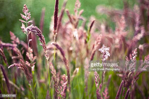 holcus lanatus, yorkshire fog growing in norfolk - lucy shires stock pictures, royalty-free photos & images