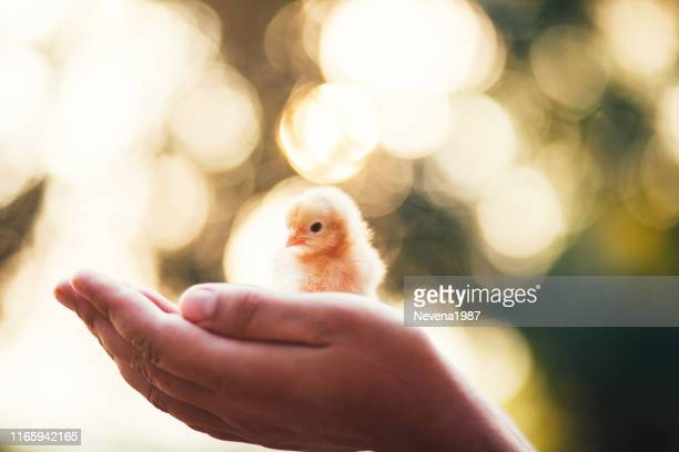 holding a baby chick - easter chick stock pictures, royalty-free photos & images