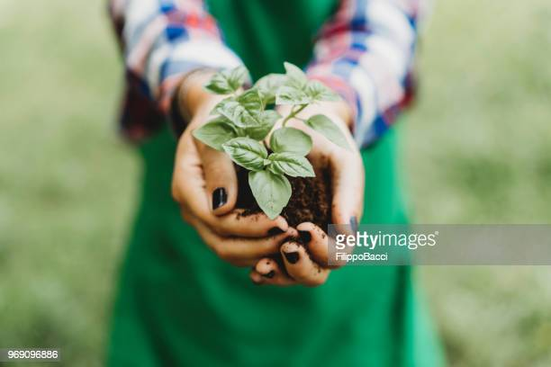 holding a basil plant with bare hands - environmental conservation stock photos and pictures