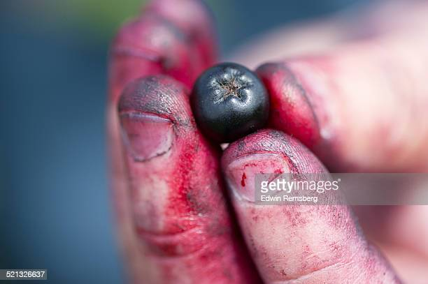 Holding an aroinia berry