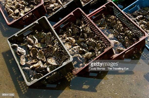 holding baskets of fresh cap ferret oysters - cap ferret photos et images de collection
