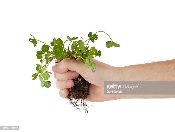 Tenant Trèfle par les racines