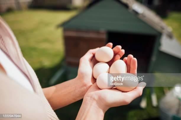 tenir des œufs en liberté - poulailler photos et images de collection