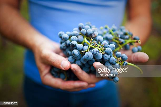 holding ripe grapes - napa valley stock pictures, royalty-free photos & images