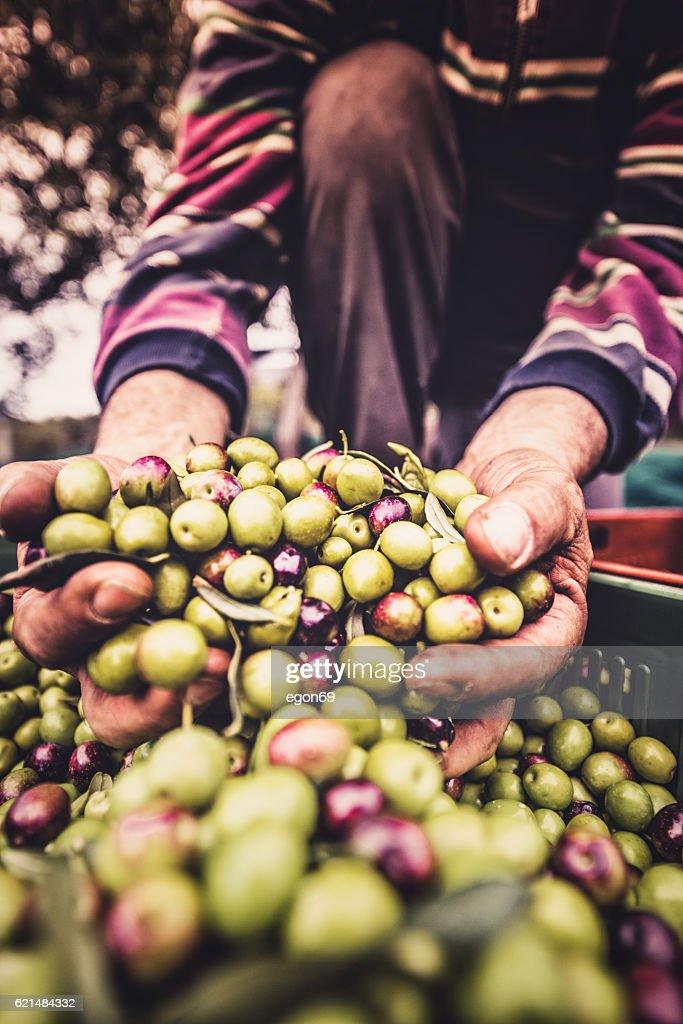 holding the olive fruit : Stock Photo