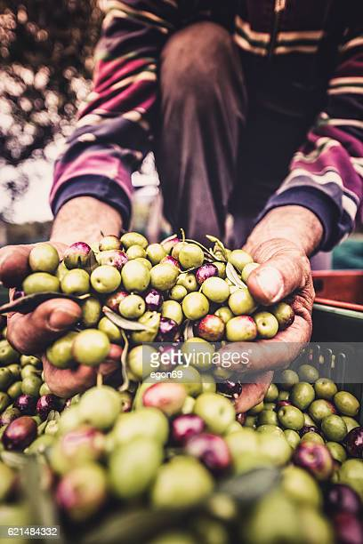 holding the olive fruit - green olive stock photos and pictures
