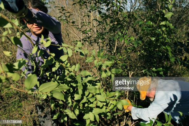 mlk holiday day of service, pease park, austin, texas - exotic_species stock pictures, royalty-free photos & images