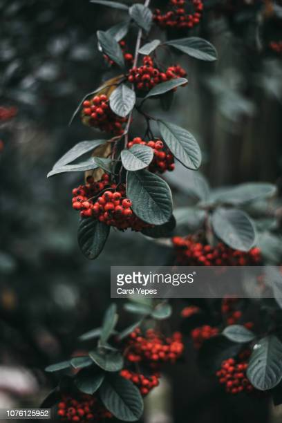 holiday evergreen branches and berries - holly stock pictures, royalty-free photos & images