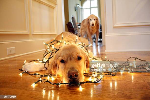 Holiday Helper Golden Retriever, wrapped in lights