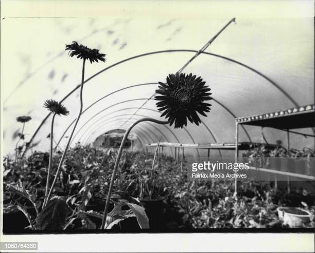 Holiday scenes around Nelson's BayThe Rose farm at Port Stephens Gerberas growing in the glasshouse June 28 1983