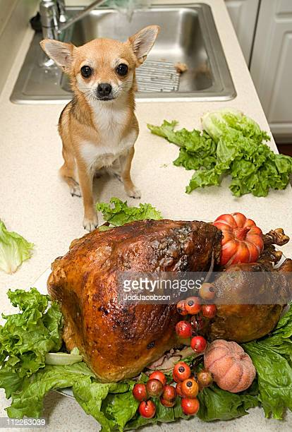 holiday turkey and dog - thanksgiving dog stock photos and pictures