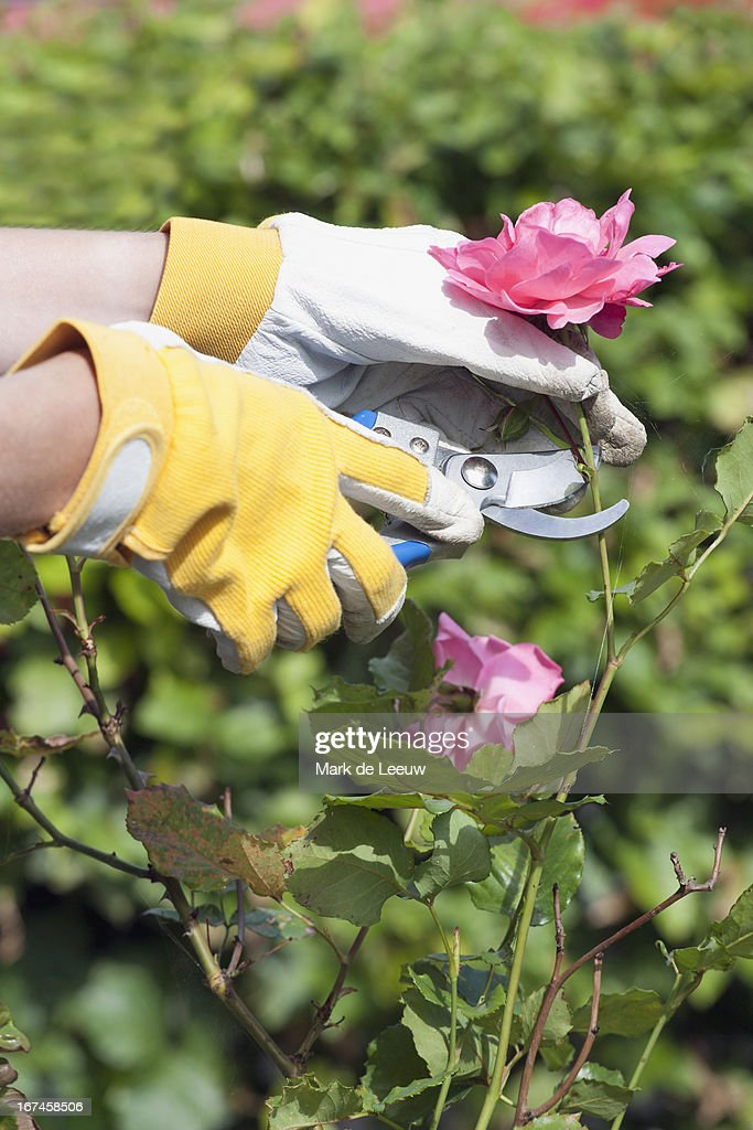 Holland, Goirle, woman using pruning shears for cutting rose : Stock Photo