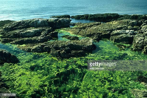 Hollow green algae and filamentous seaweed in the lower intertidal zone of a rocky New England coast, Hollow algae: Ulva intestinalis, previously...