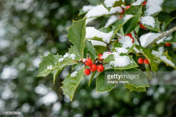 holly after a winter storm - houx photos et images de collection