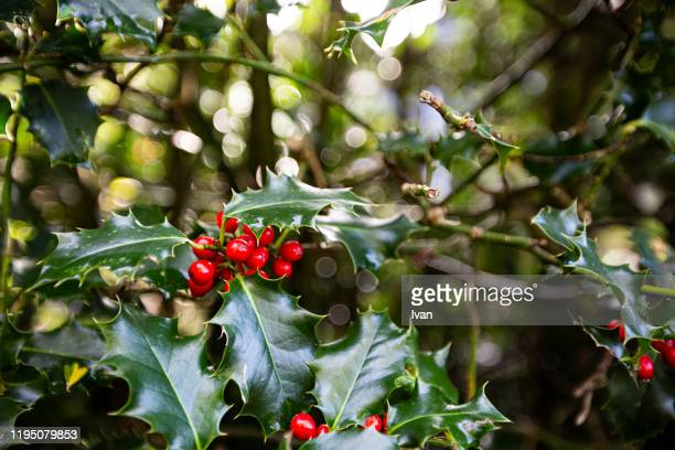 holly and berries background - dezember stock-fotos und bilder