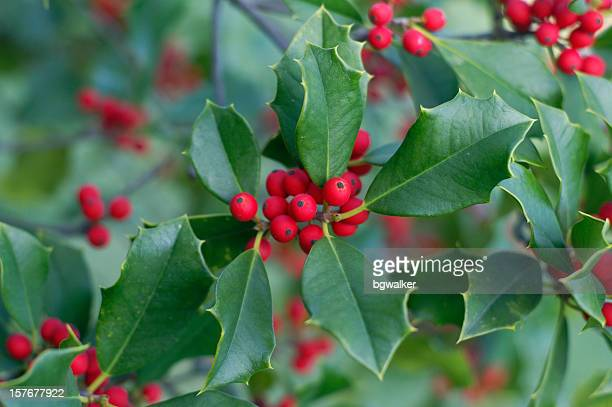 Holly and Berries