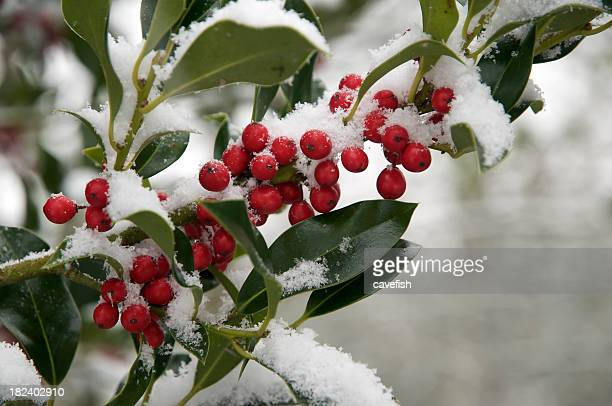 Holly Berries with a Dusting of Snow