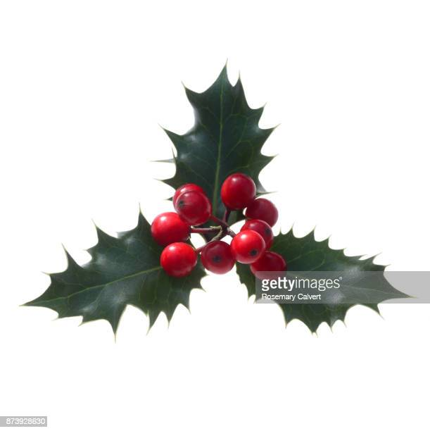Holly berries with three holly leaves on white square.