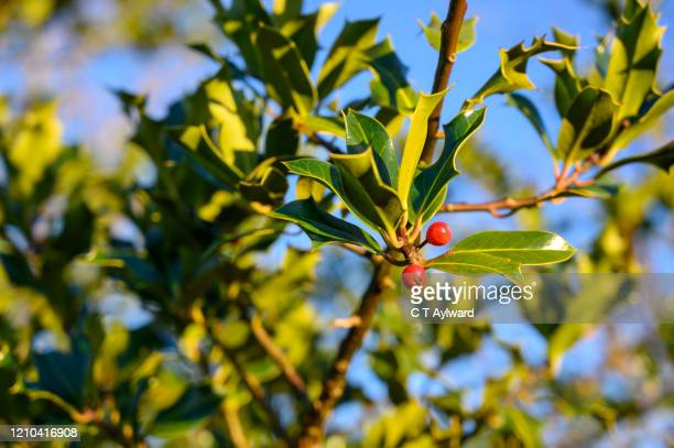 holly berry bush in sunshine - evergreen plant stock pictures, royalty-free photos & images