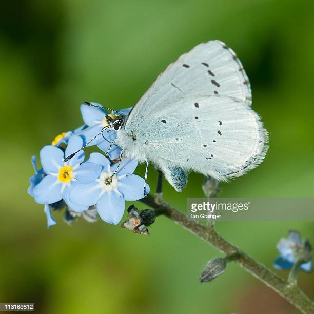 holly blue butterfly - ian grainger stock pictures, royalty-free photos & images