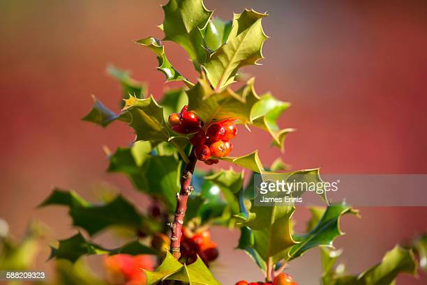 Holly bush and berries