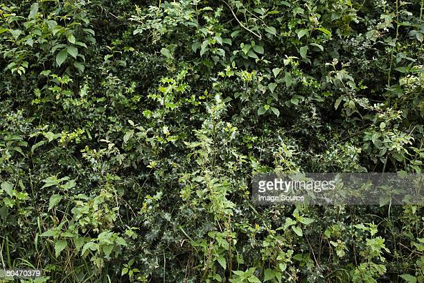 Holly bush in wales