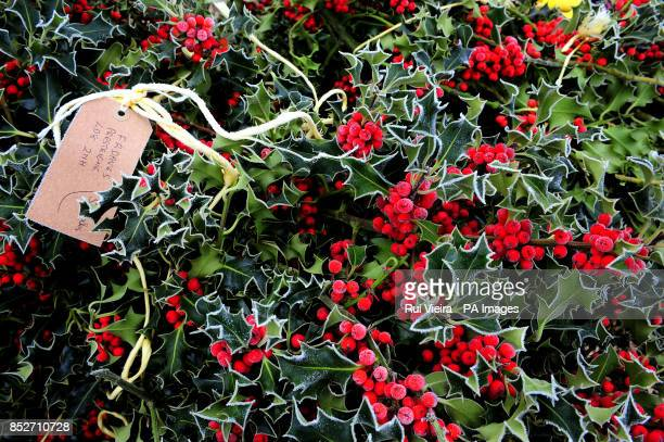 Holly covered with frost at the auction sale of holly mistletoe wreaths and Christmas trees at Bromyard Road Business Park Tenbury Wells...