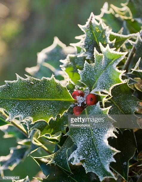 Holly Ilex aquifolium